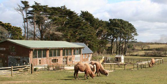 Cornish Camels!