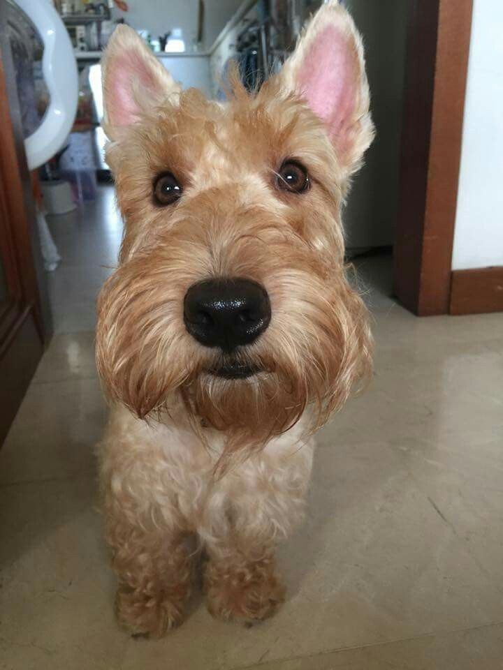 1000+ images about Wheaten Scottish Terrier on Pinterest ...