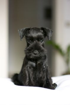 Schnauzer puppy wants to play