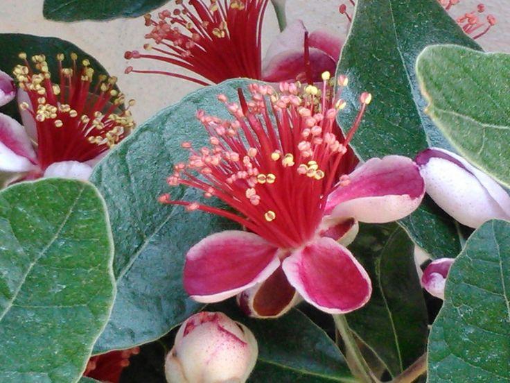 Fejoia Flowers