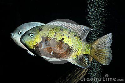 Small yellow - brown  fish in the aquarium