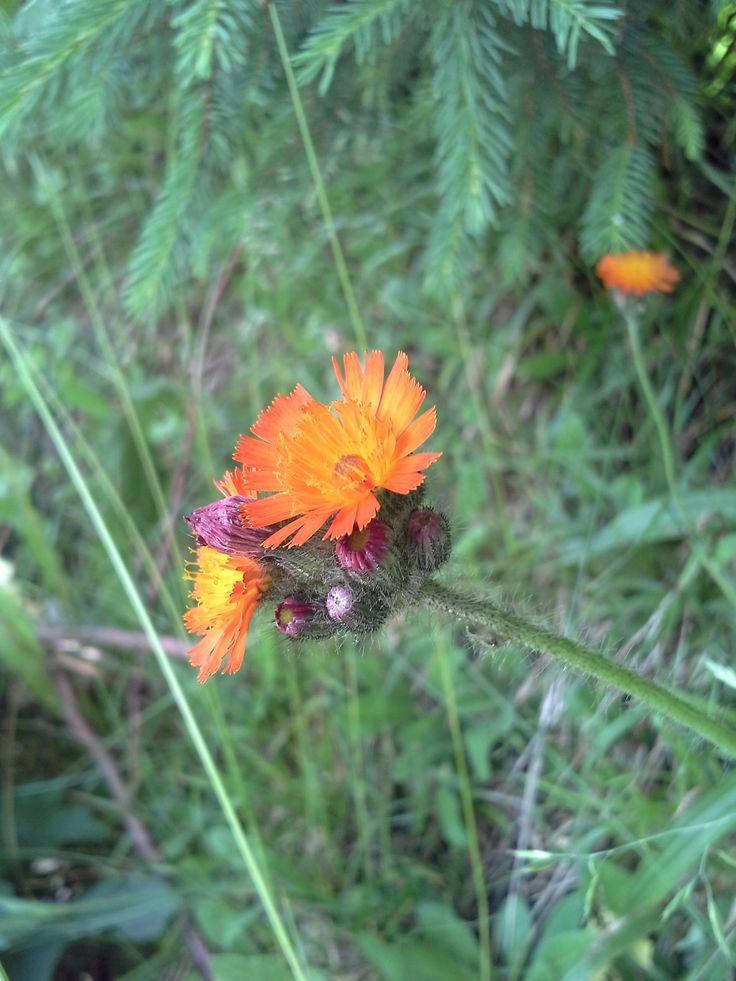 Orangerotes Habichtskraut (Hieracium aurantiacum) #Kleinwalsertal. Im Mittelalter galt es als magischer Schutz gegen Hexen, Zauberer und alle Verwünschungen. Sind Sie neugierig? Wir erzählen Ihnen mehr beim nächsten Kräuterspaziergang.