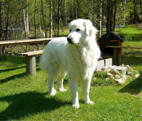 Pyrenäenberghund - Pyrenäen - Berghund - Pyrenean Mountain Dog - Great Pyrenees