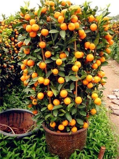 Orangen Bonsai Winterhart – Süßer Mandarinenbaum (Citrus Reticulata) 30 Stück Chinesischer Gold Bonsai Obstbaum für den Garten   – Blumen