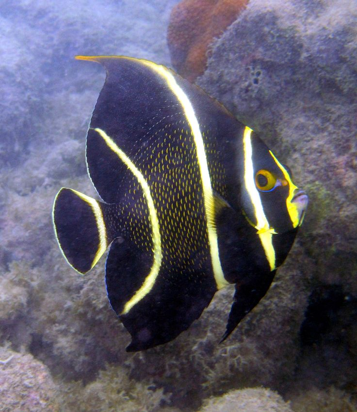 Juvenile French Angelfish ((Pomacanthus paru) found in Western Atlantic waters from Florida to the Bahamas to Brazil, also in The Gulf of Mexico