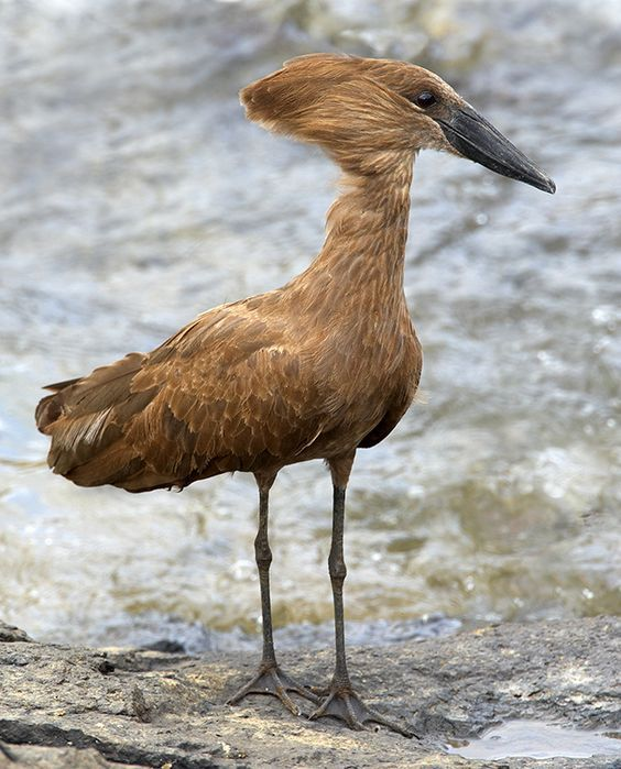 The Stylish Gypsy (mysleepykisser-with-feelings-hid:     Hamerkop —...)