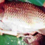Peluang Bisnis Budidaya Ikan Mas, Teknik Budidaya Ikan Mas - okezonet.com | okezonet.com