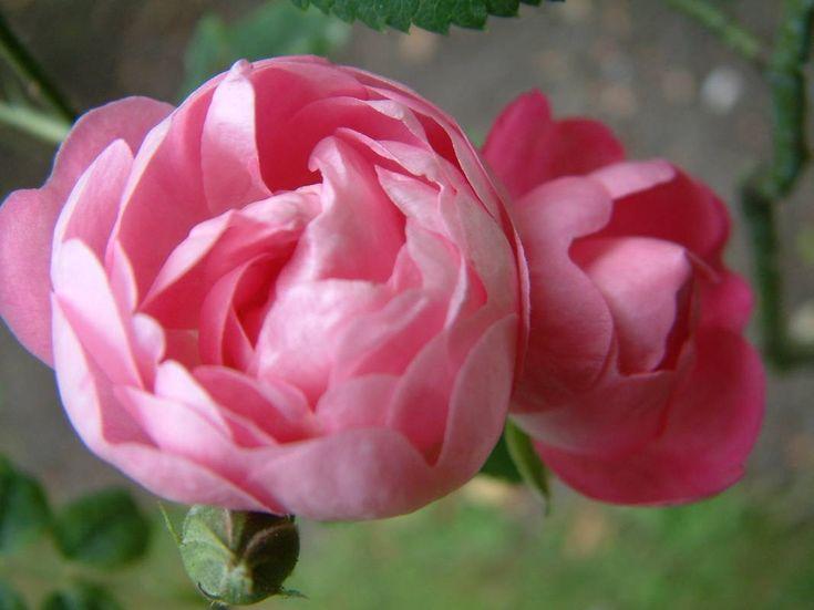 Macrantha Raubritter - procumbent Roses - Rosas velhas do jardim - Rose Catálogo - Tasman Bay Roses - Comprar Online Rosas na Nova Zelândia