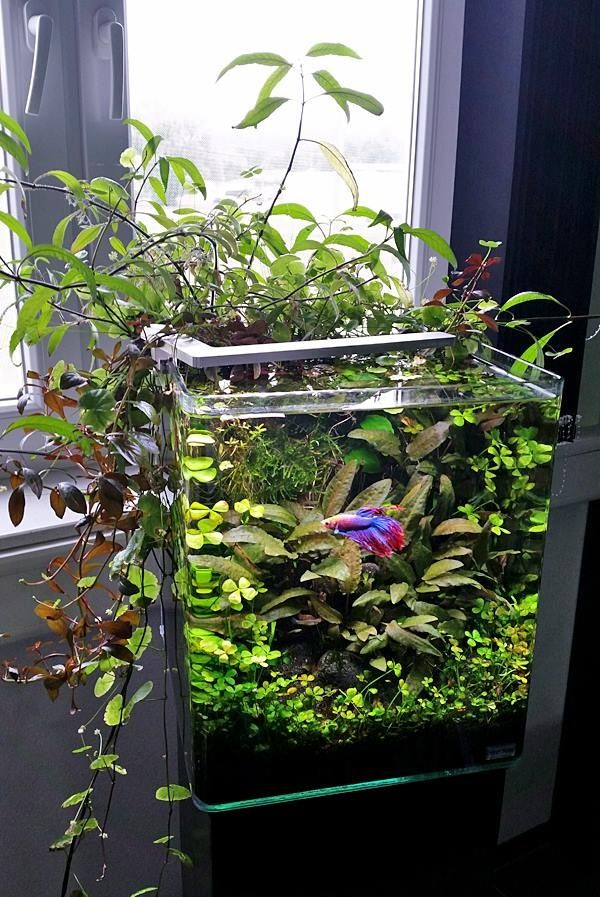 Simple Aquarium by aquariadise: 5 gallon tank: good betta tank. live plants. Your betta will display beautiful swimming, flaring and exploring behavior in these larger tanks that you may not see when they are kept in smaller habitats. #DIY #Aquarium #Water_Garden