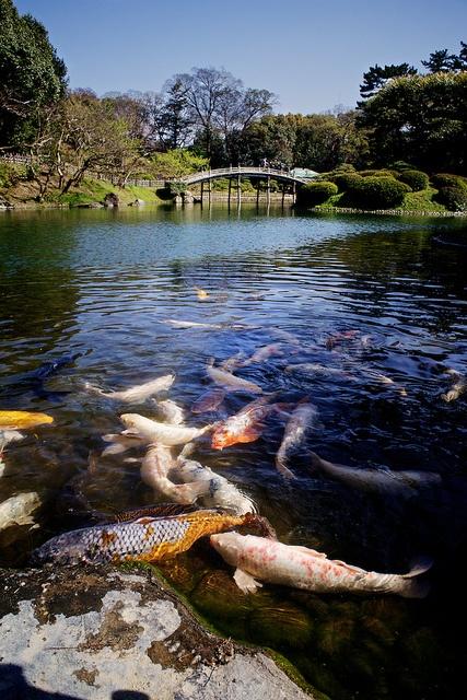 Koi fishes in front of Engetsu-kyo Bridge in Ritsurin Park, Takamatsu city, Shikoku, Japan