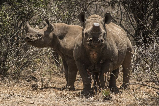 African Rhinos May Be Extinct In 10 Years Or Less, Experts Warn