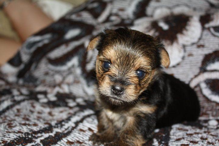 Olivers daughter. 3 week old Yorkshire Terrier