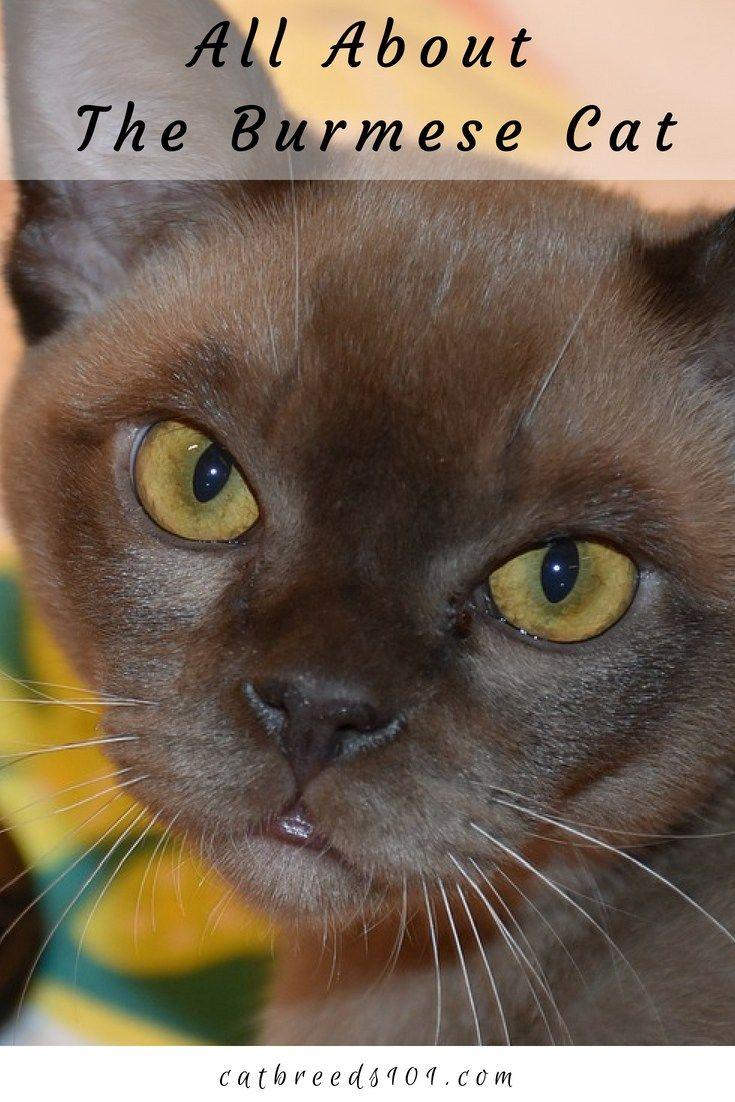 Burmese Cat Breeds 101 Burmese Cat Cat Website Munchkin Cat