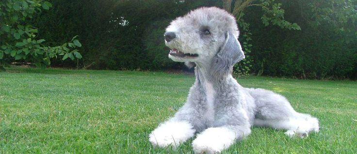 """De oorsprong ligt in Engeland in de 18e eeuw en dit ras werd gebruikt door zigeuners als een ongedierte jager en klein wild retriever. Ze worden vaak liefkozend aangeduid als de """"gypsy hond"""". De Bedlington Terriër wordt vaak omschreven als een hond met het hart van een leeuw en het hoofd van een lam vanwege hun unieke uitstraling en assertief gedrag."""