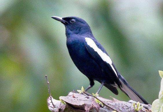 Suara Kacer – Burung dengan tampilan fisik yang gagah sertakeanggunanbulu berwarna dominan hitam danputih ini memang mampu membawa kesan keelokantersendiri bagi para penggemarnya. Tak hanya dengan warna memukauyang terdapat pada tubuhnya, faktor utama yang membuat burung kicau inipopular ialahkemampuannya dalam mengontrol irama suara gacoryangdimilikinya. Disisi lain, burung yang perawakannya mirip dengan murai batu ini juga …
