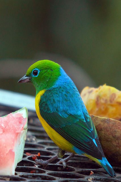 Foto gaturamo-bandeira (Chlorophonia cyanea) por Roberto Gallacci | Wiki Aves - A Enciclopédia das Aves do Brasil