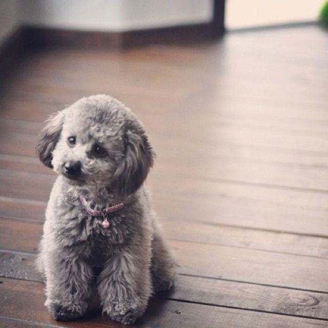 Grey poodle | Furry, Cute Animals | Pinterest | Toys, Toy ...