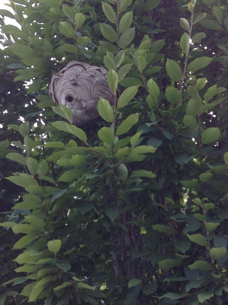Wasp nest Plant leaves, Seasons, Wasp nest