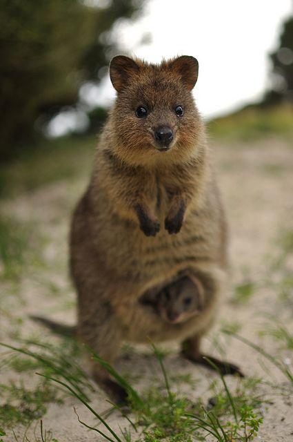Quokka and her baby. Rottnest Island off the coast of #WesternAustralia, August 2012. Photo: Caitlin Schokker, cadywaah via Flickr #Quokka