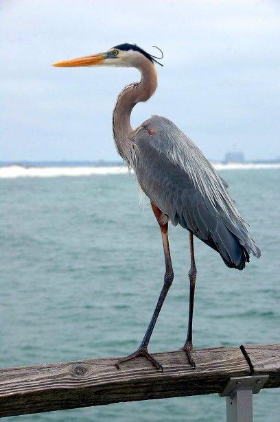 Great Blue Heron by Paul Brennan  Public Domain