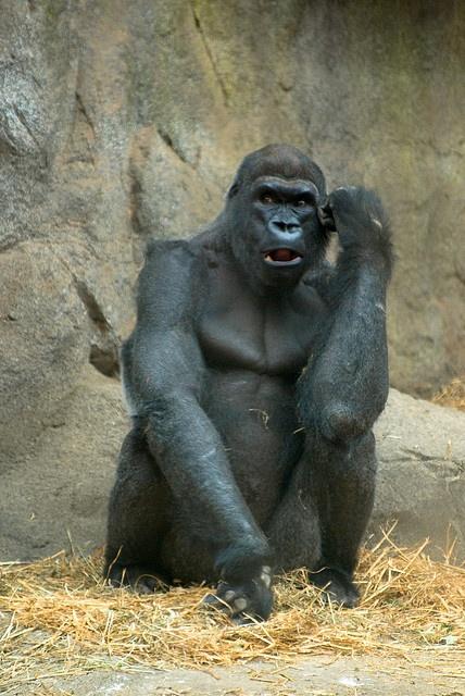 Gorilla by Corey Leopold, via Flickr
