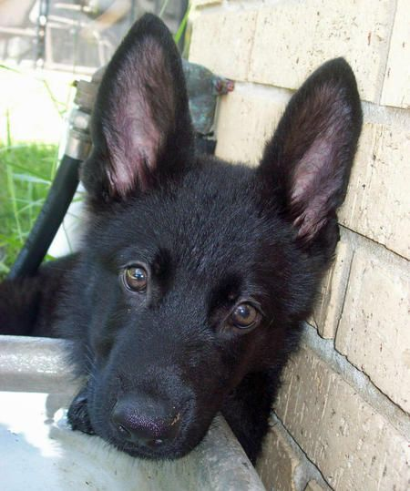 All black German Shepard Puppy. add this to my list of dogs i want.