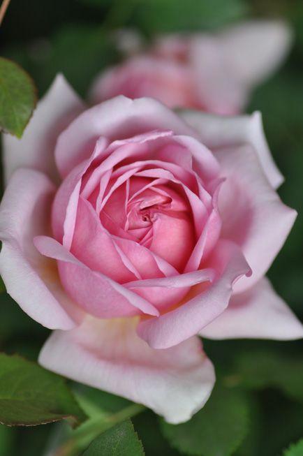 Hybrid Tea Shrub Rose: Rosa 'Totto-chan' 'トットちゃん' (Japan, c.2009)