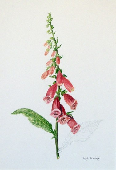Foxglove | Botanicals | Botanical illustration, Flower art, Botanical prints