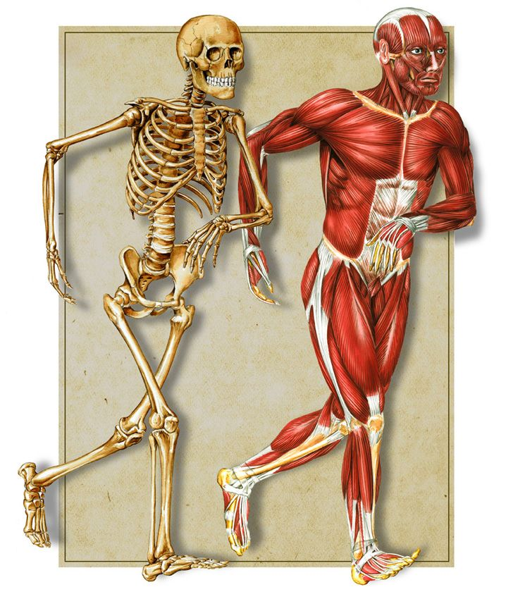 bone and muscle | science | pinterest | muscles and teacher, Skeleton