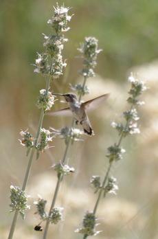 White Sage, Salvia apiana with hummingbird. California native. Full sun.