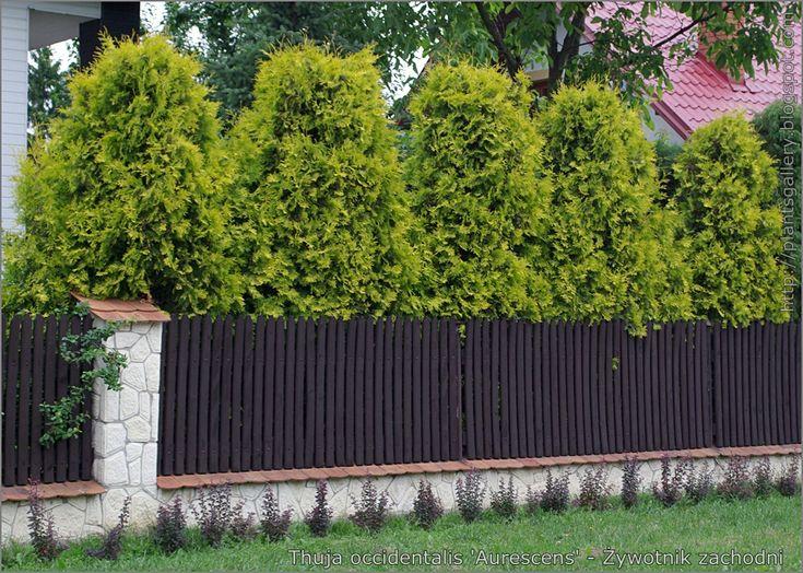 https://flic.kr/p/9YzGzG | IMGP5106 Thuja occidentalis 'Aurescens' - Żywotnik zachodni | see more, zobacz więcej : plantsgallery.blogspot.com/2011/07/thuja-occidentalis-aur...
