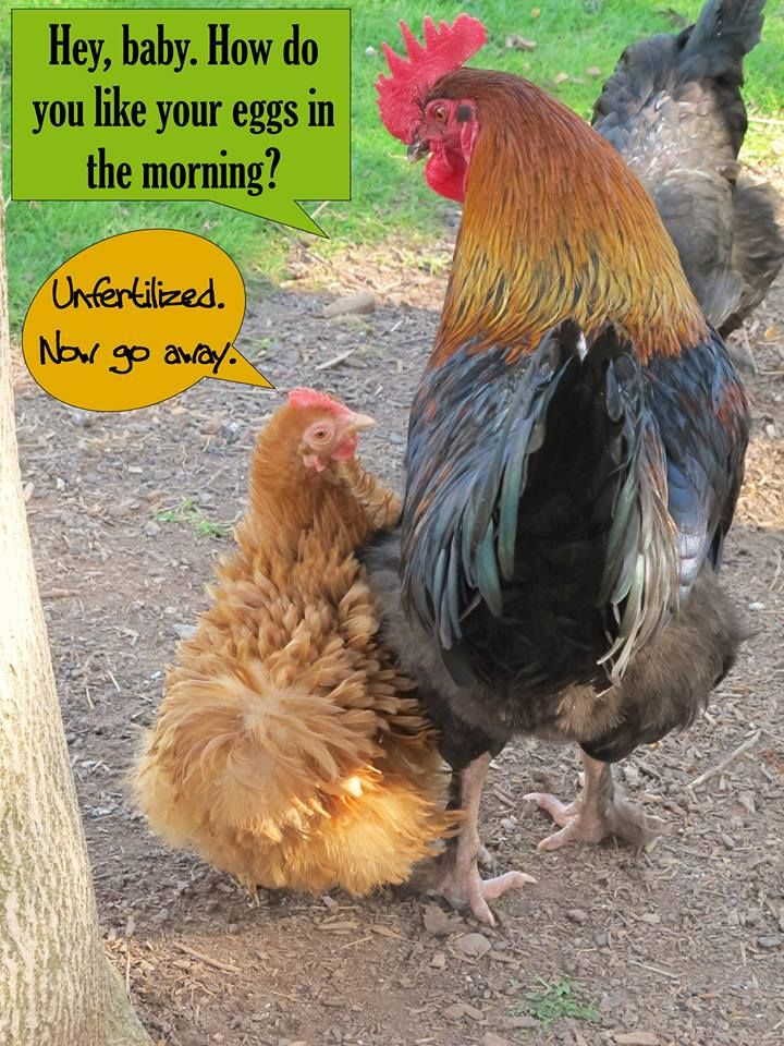 Chicken Humor from The Chicken Chick on Facebook https://www.facebook.com/Egg.Carton.Labels.by.ADozenGirlz #rooster #hen #chickens #funny
