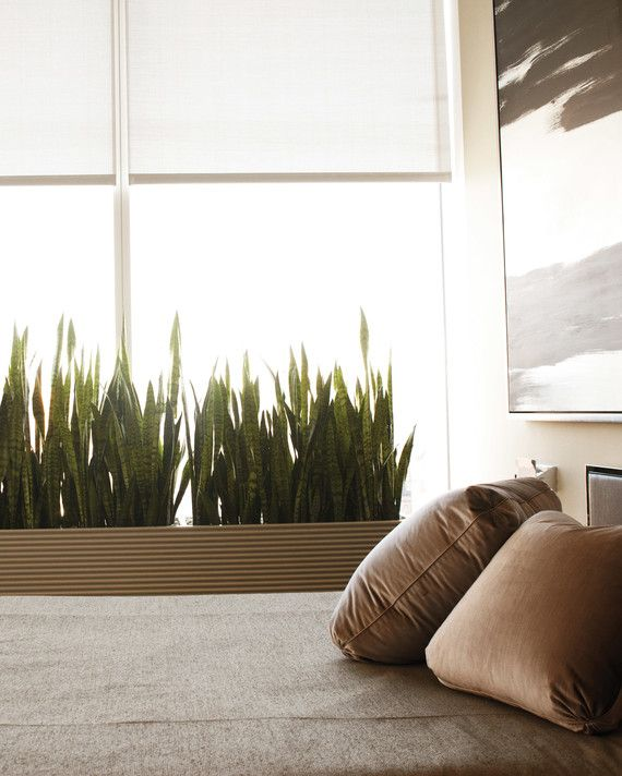 Best 25 mother in law tongue ideas on pinterest sansevieria trifasciata snake plant and - Nice indoor plants ...