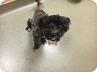 Boston, MA - Miniature Schnauzer Mix. Meet JUNE, a dog for adoption. http://www.adoptapet.com/pet/18510278-boston-massachusetts-miniature-schnauzer-mix