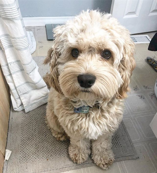 One Of The Last Days Of 2019 Cockapoo Poodle Toronto Dogs Dailydog Cockapoo Puppies Cockapoo Doggy