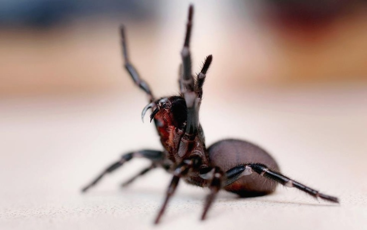 """funnel web spider... deadly"" but afraid of rain - we once had one waiting patiently outside our front door under cover from the rain. As if it was about to knock...literally a few tiny spider steps outside the door."