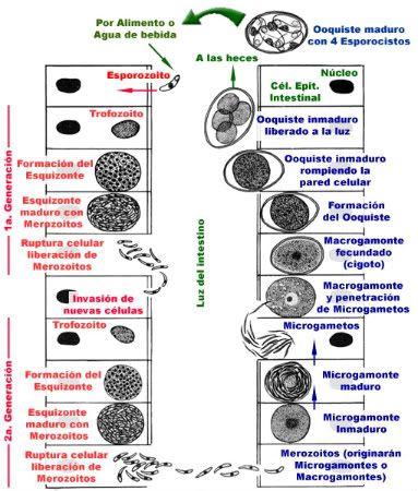 Cacas y enfermedades - (Veterinaria) | HuronAdictos.com