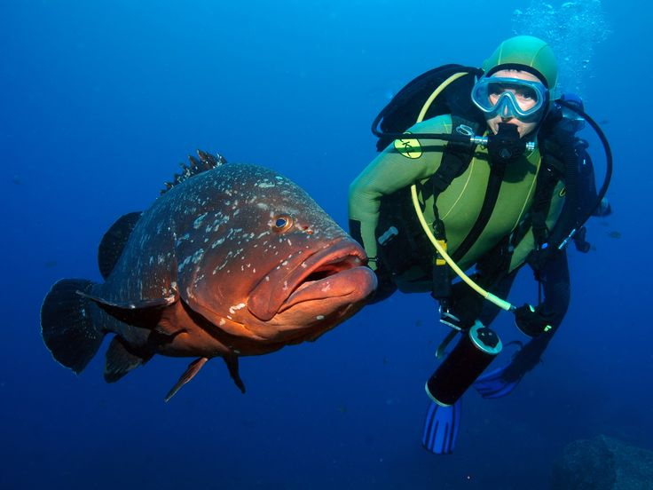 No Manta Diving Center pode mergulhar nos mares da Madeira e conhecer esta e outras espécies.   In Manta Diving Center you can dive in Madeira's seas and get to know our species.