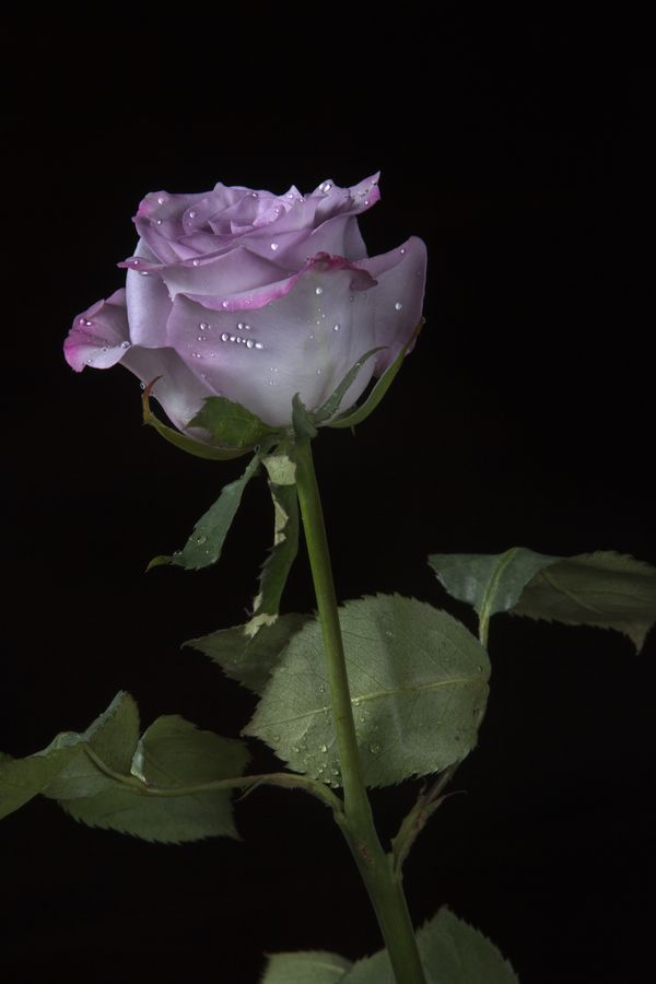 Rose in lilac tone by Cristobal Garciaferro Rubio, via 500px