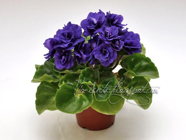 Rococo Viol Махровые темно-синие цветы. Светло-зелёная гел-листва. Полуминиатюра. Промышленный :)