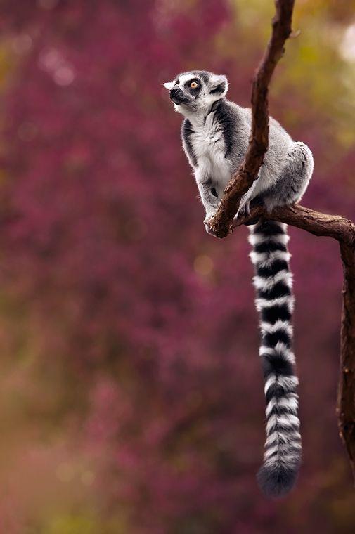 Ring-Tailed Lemur (Lemure dalla coda ad anelli o Lemure catta)