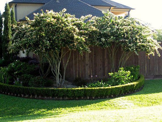 Ligustrum japonicum wax leaf ligustrum by for Wax landscape