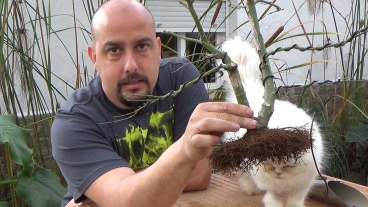 Plantado de arce palmatum sacado de acodo aéreo