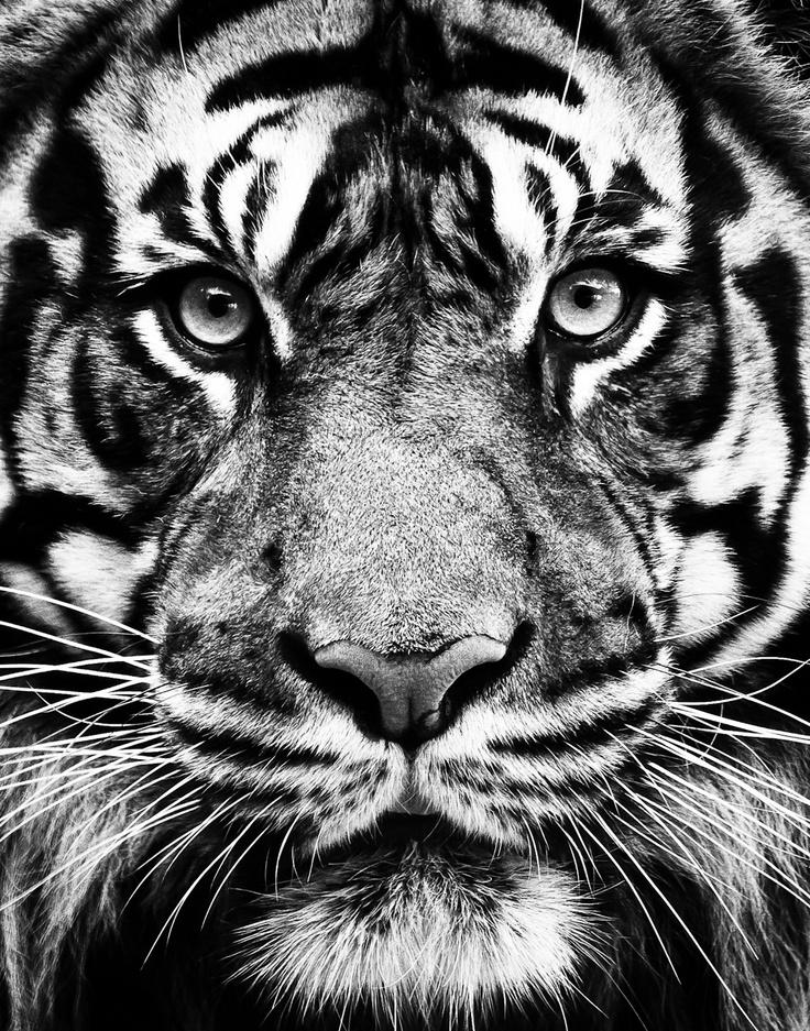 место картинки на телефон черно белые тигр вечерам таксовал, некоторые