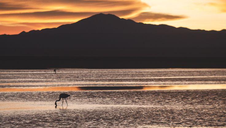 https://flic.kr/p/w5wFw9 | Flamingo at Chaxas Lagoon, San Pedro de Atacama