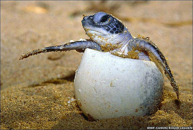 Watched a documentary when I was a small babe on sea turtles and their amazing journey. It changed my life.