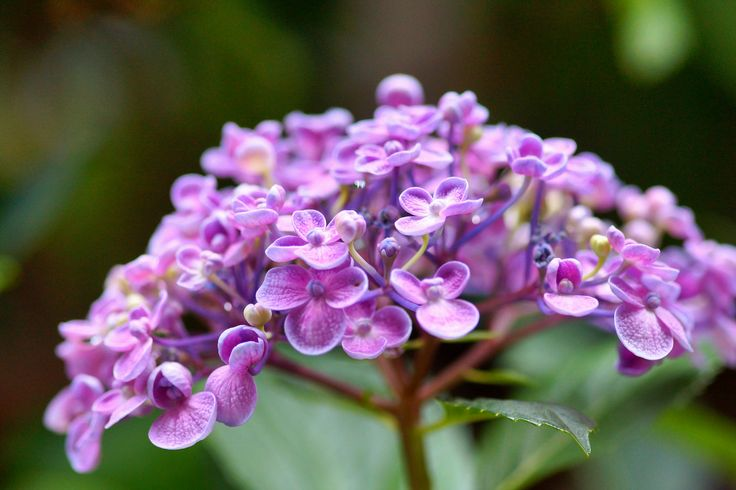 https://flic.kr/p/nMLeuQ | ウズアジサイ(オタフクアジサイ)/Hydrangea macrophylla 'Uzuazisai' | 20140612-DSC01448ウズアジサイ(オタフクアジサイ)/Hydrangea macrophylla 'Uzuazisai'  アジサイ科アジサイ属