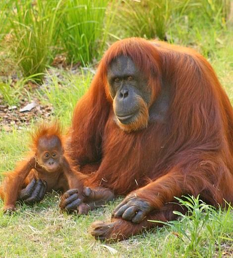 Palm oil and Orangutans - If we choose responsibly when we manufacture and purchase products that use only Sustainable Palm Oil, we can help save the habitats of these beautiful animals.  Li'l Sis Goat Milk Soap always thinks and chooses Sustainable Palm Oil for all products