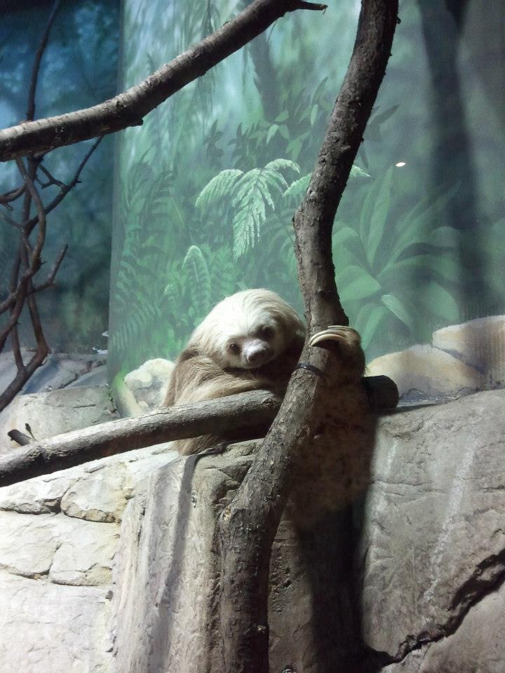 Sloth - Como Park Zoo and Conservatory
