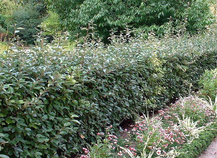 Elaeagnus x ebbingei Chalef vert sur le Mur Végétal